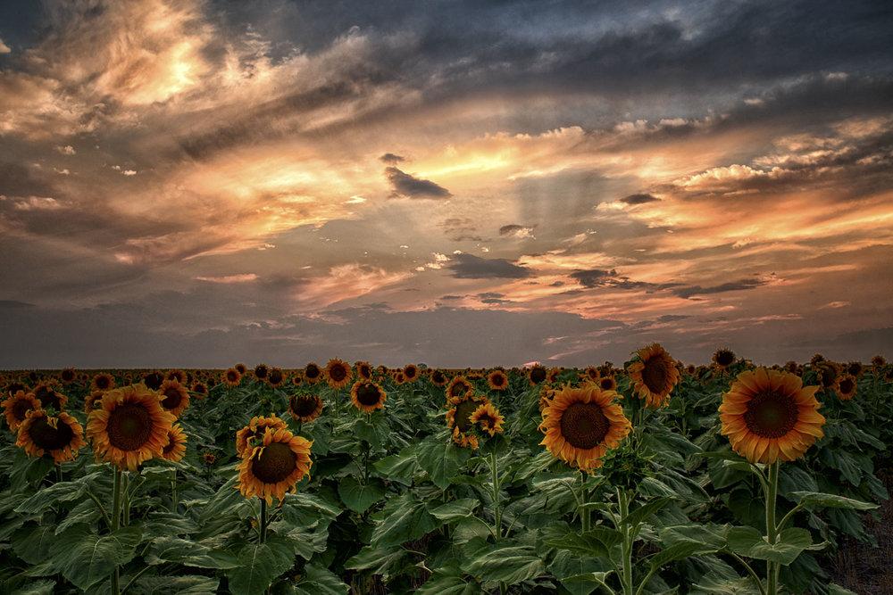 colorado-sunflower-fields-01.jpg