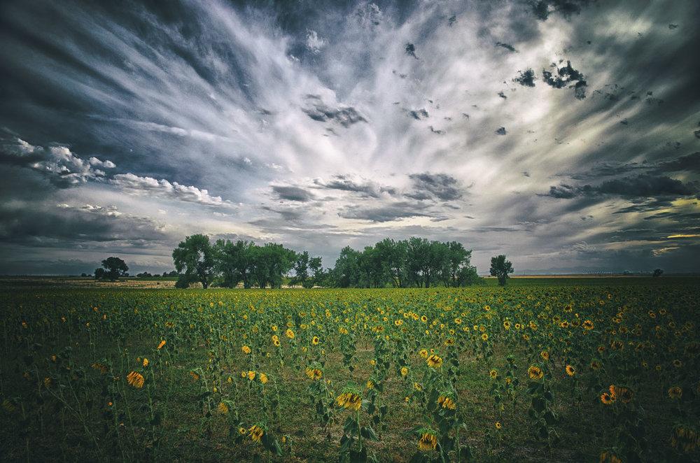 colorado-sunflower-fields-06.jpg