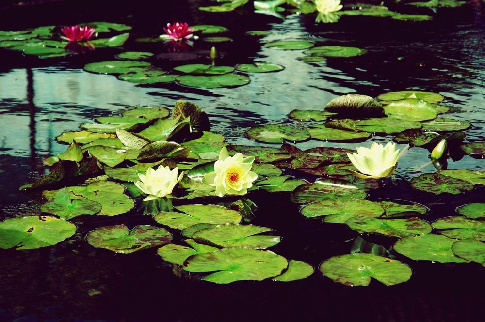 water lilies - Copy.JPG