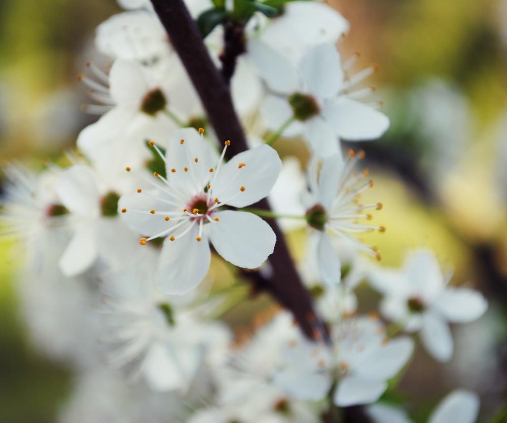 blossoms2 (2).JPG