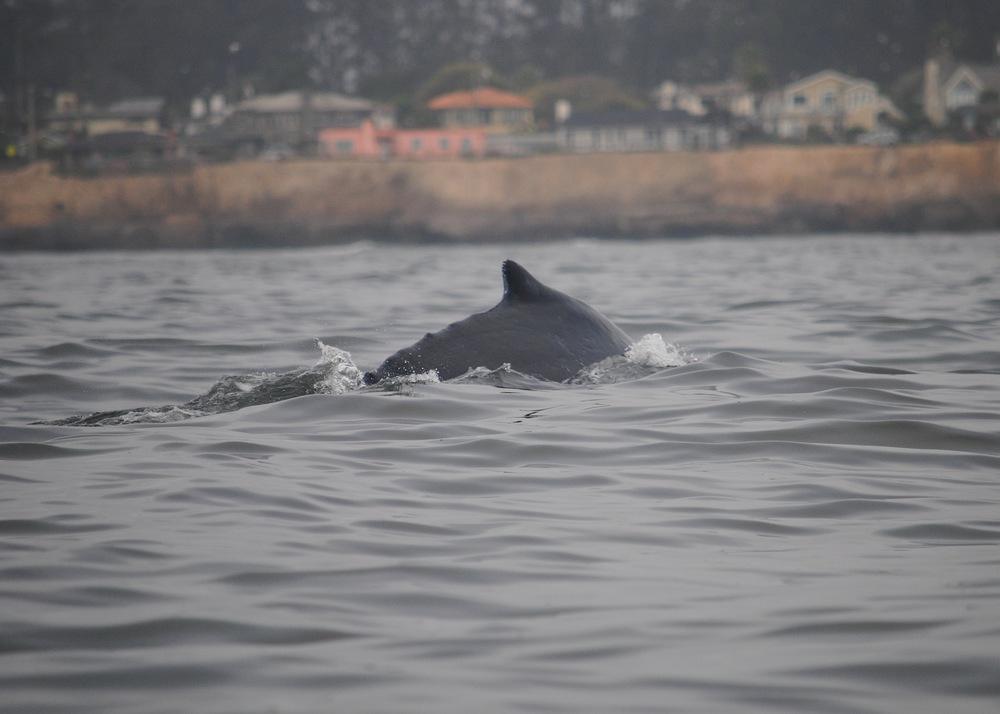 humpback_santacruz.JPG