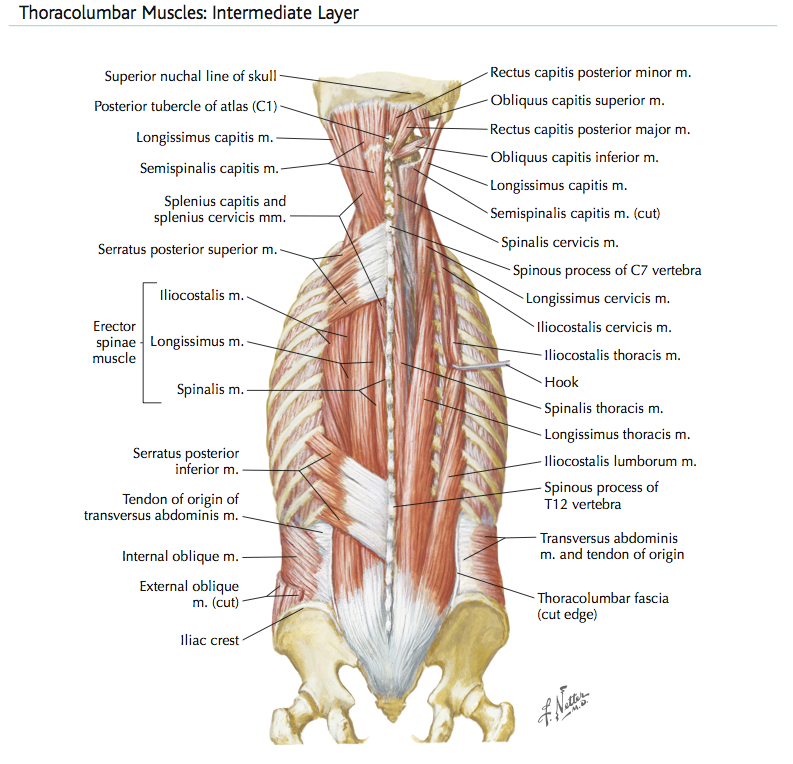 intermediate muscles 141.png