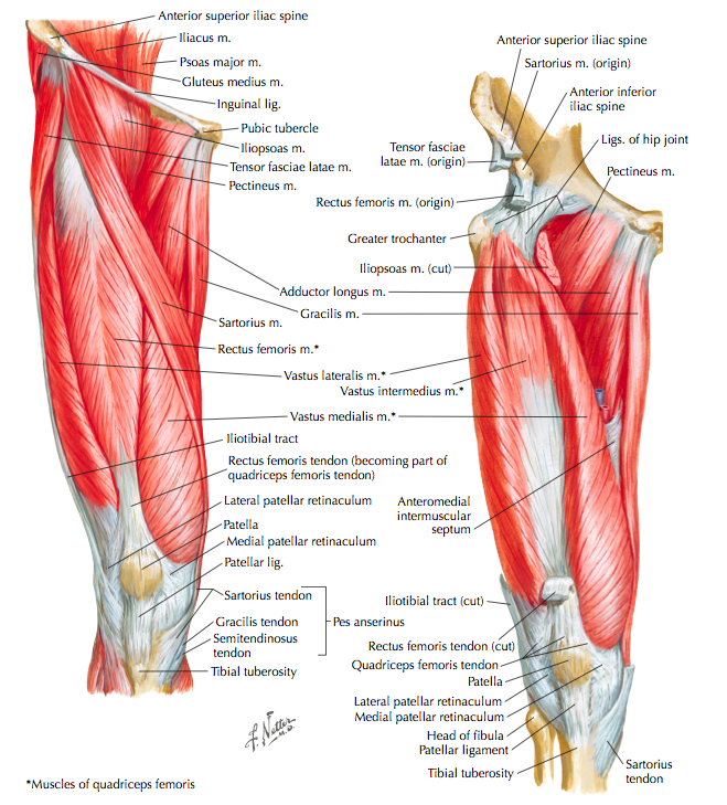 Anterior muscles of the hip and thigh (Cleland, 2005, p. 251)