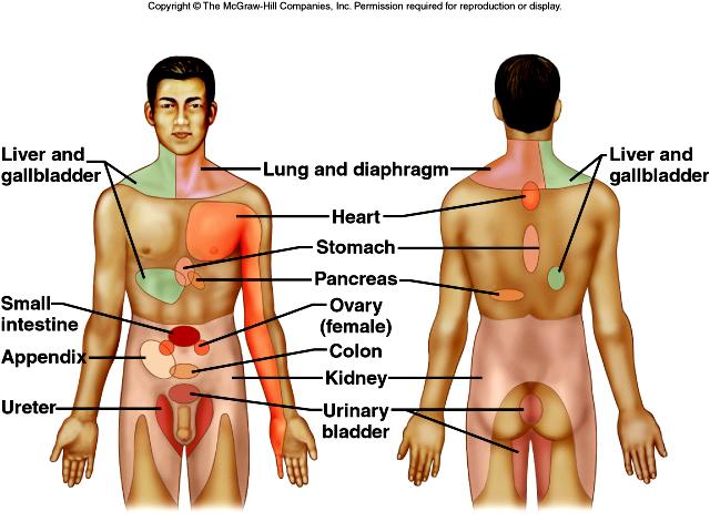 Human anatomy kidney pain