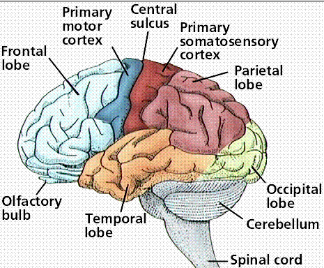 Primary and secondary somatosensory cortex