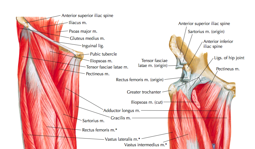 Muscles of the anterior hip and thigh (Cleland, 2005, p. 251)