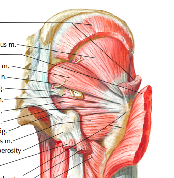 Deep muscles of the buttock (Cleland, 2005, p. 249)