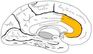 Anterior cingulate cortex (ACC) courtesy of Google Images.