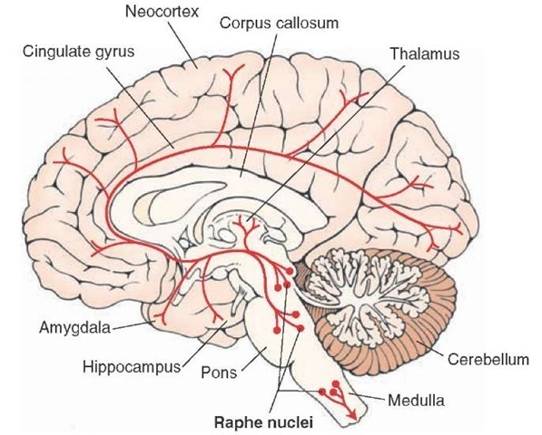 The neuromatrix of pain overlaps with the functional neuroanatomy of image courtesy of google images retrieved september 10th 2015 httpwhat when ccuart Image collections