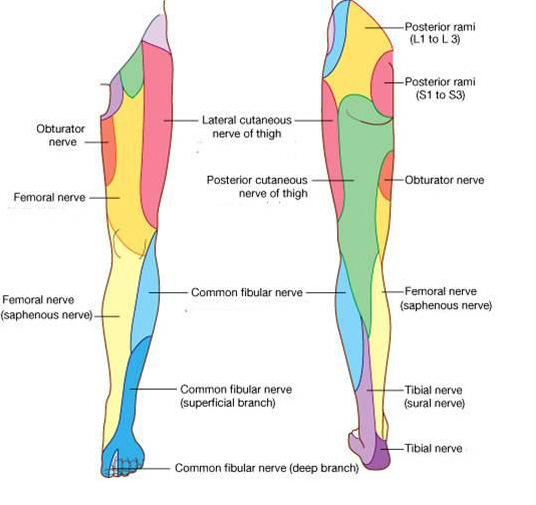 Cutaneous nerves of the lower limb (Courtesy of  Google Images )