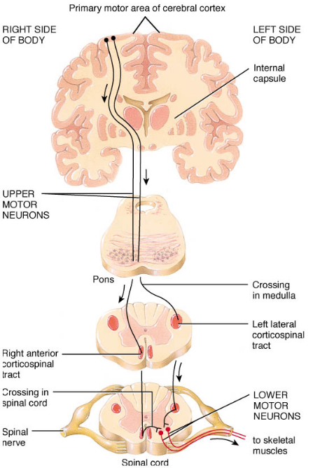 Upper motor neurones exist within the spinal cord (Google Images)