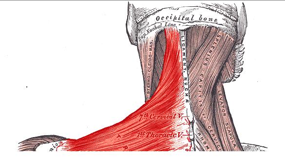 Upper trapezius