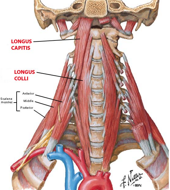 Cervical Motor Control Part 1 Clinical Anatomy Of Cervical Spine