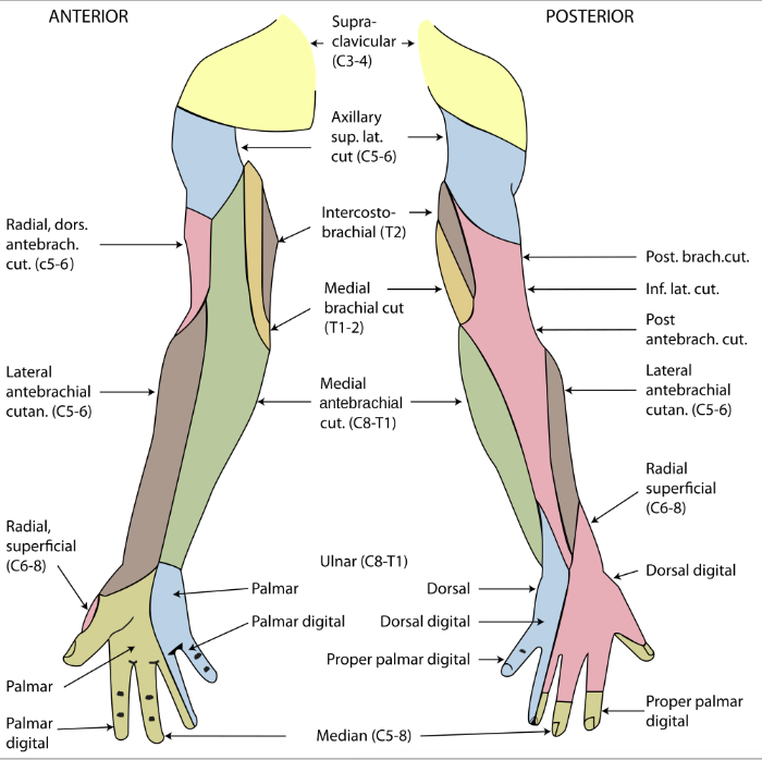Cutaneous innervation of the upper limb