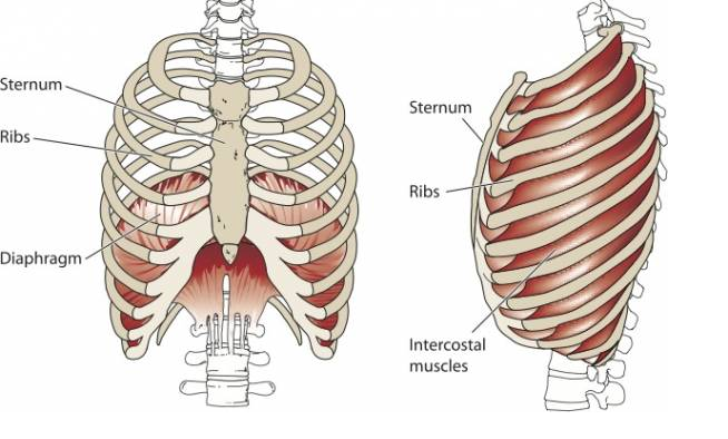 The ribcage and diaphragm. Image source:  Google Images