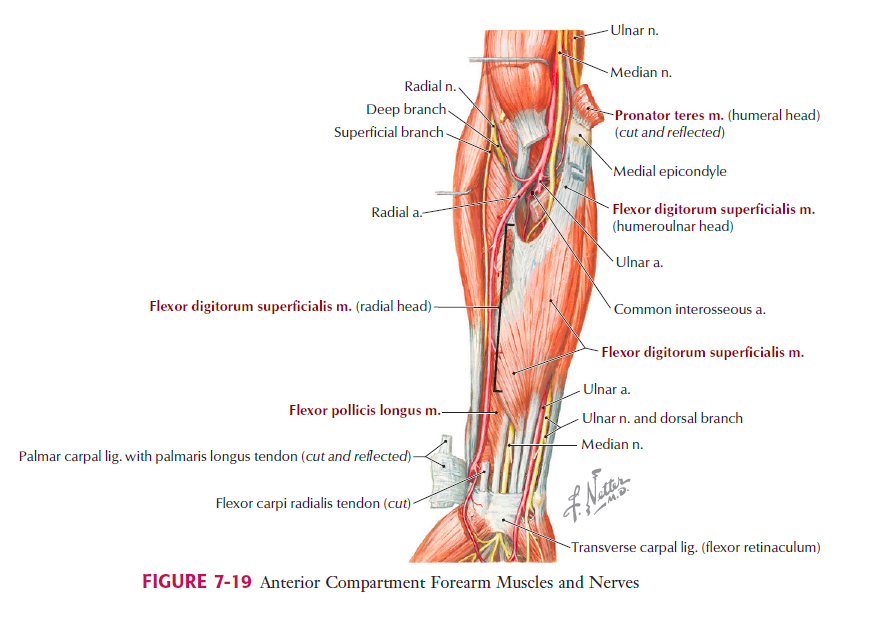 Lateral Epicondylalgia - Pathophysiology & Clinical Assessment ...