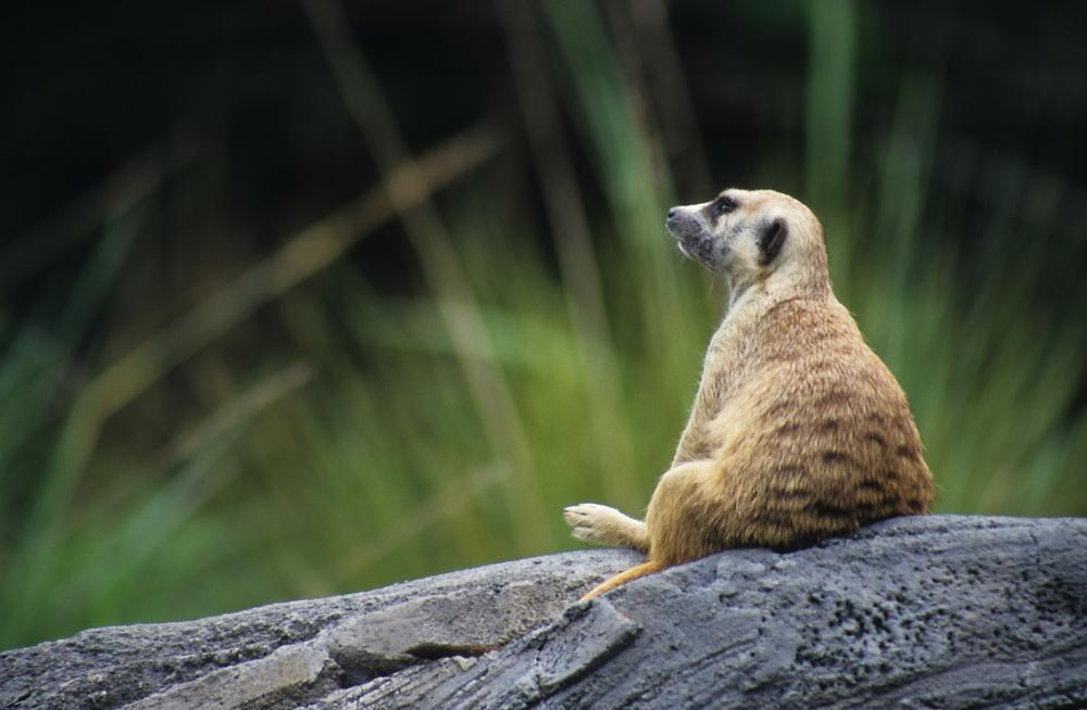 Meerkat Gazing