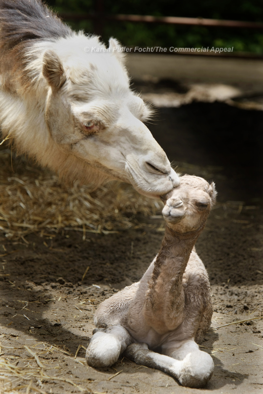 "June 13, 2013 - Mona Lisa gets to know her baby, born at the Memphis Zoo last Thursday. The male calf, was born to parents ""Mona Lisa"" and ""Solomon."" The baby camel is 68 pounds and 3 feet tall. They are currently on exhibit at east end of the Zoo.  ""Mother and baby seem to be doing fine,"" Matt Thompson, Director of Animal Programs said. ""Similar to giraffes, the most important things we look for are the calf's ability to stand as well as nurse. He is already walking and has nursed several times."" The gestation of camels ranges from 12 to 14 months. The baby has not yet been named. (Karen Pulfer Focht/The Commercial Appeal)"