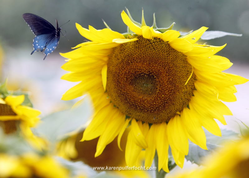 Sunflowers and Butterflies, Agricenter, Memphis, Tennessee