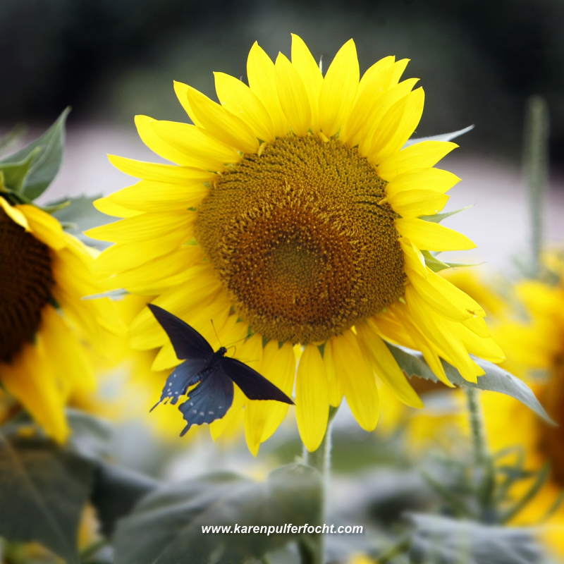 Sunflower and Butterfly  11 x 11.JPG