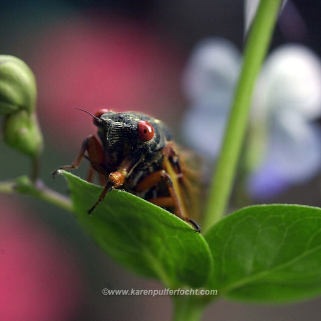 They sing, they mate, they die. #cicadas #photojournalism #memphis #science #bugs #garden #cicadas2015