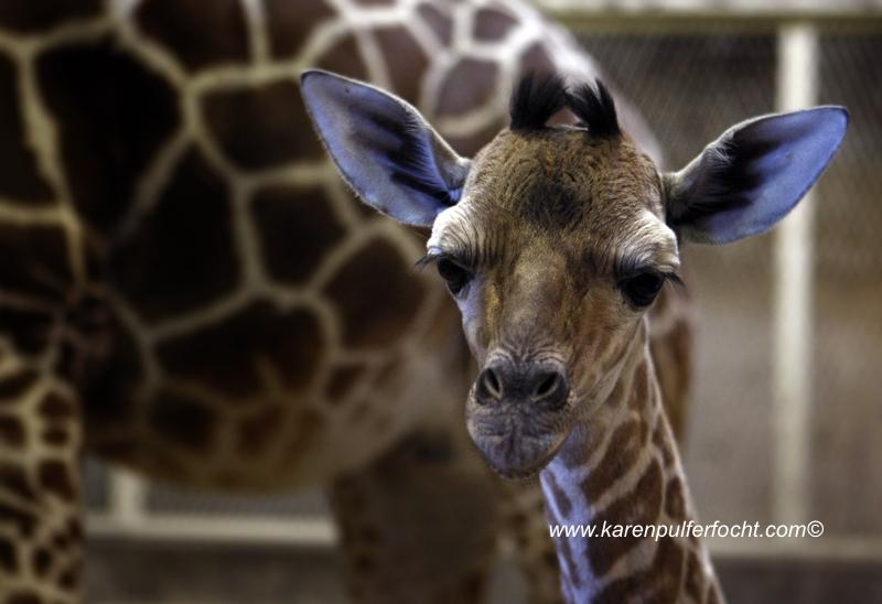 © FOCHT- Baby Giraffe 316cA.JPG