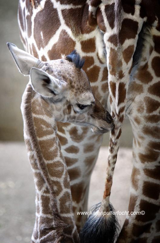 © FOCHT- Baby Giraffe 316dB.JPG
