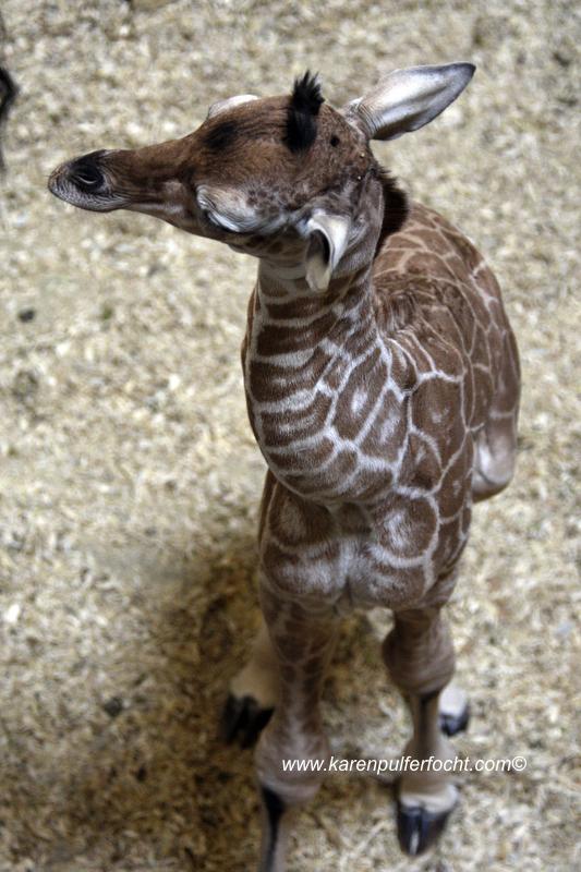 © FOCHT- Baby Giraffe 316gB.JPG
