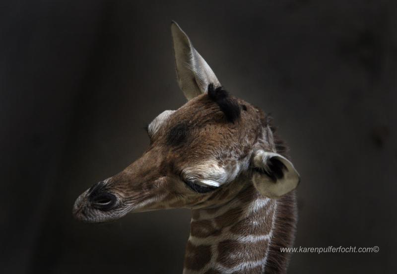 © FOCHT- Baby Giraffe 316aBA.JPG