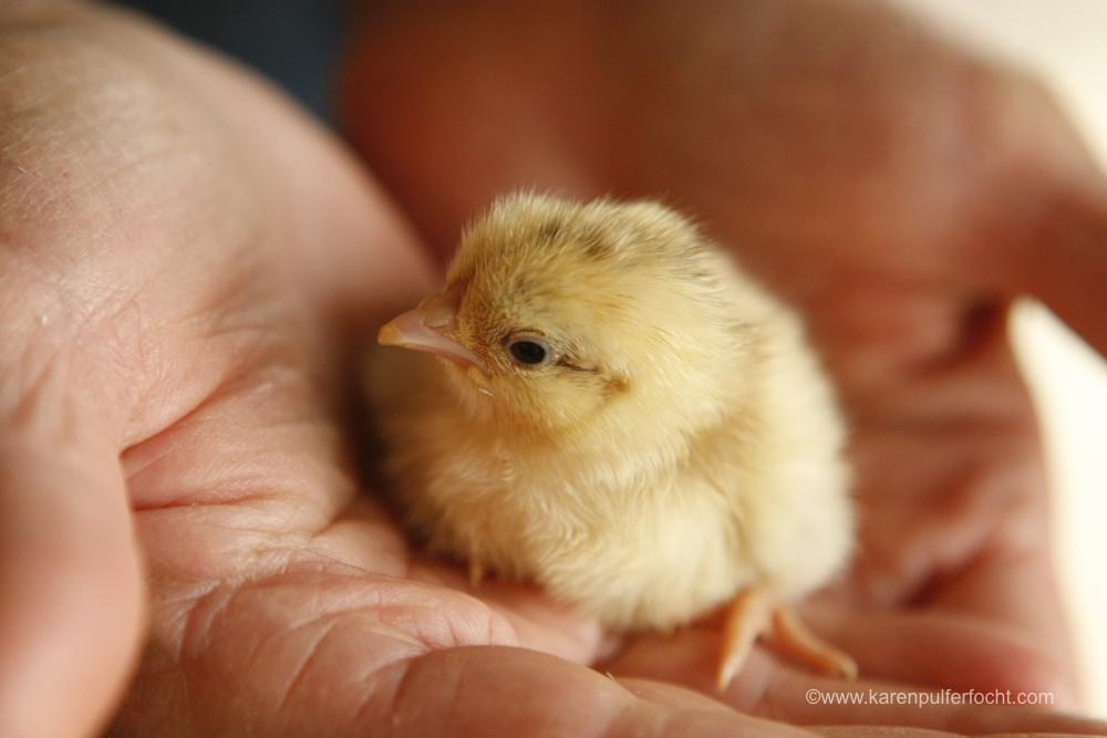 Jean Chicken 3-18-16310.JPG