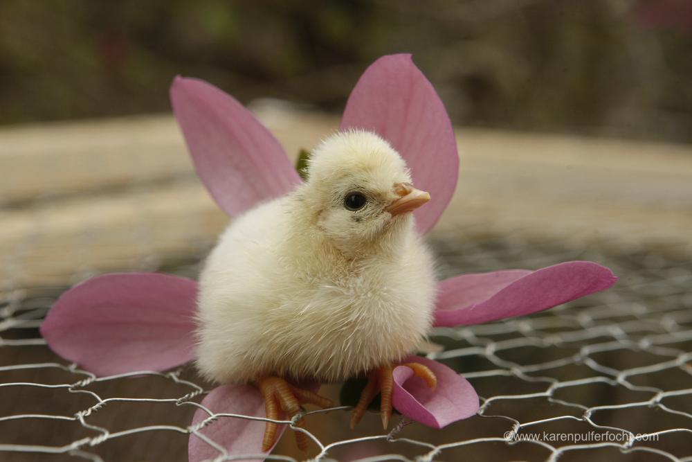 Jean Chicken 3-18-16324.JPG