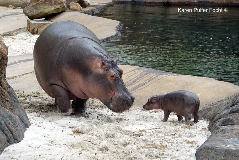 ©Focht Baby HippoA.JPG