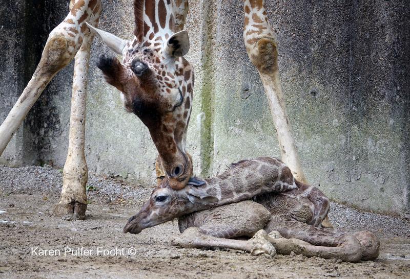 ©Focht- Baby Giraffe 04032017- 007.JPG