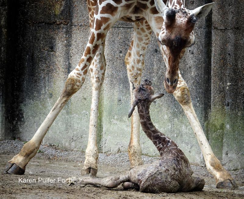 ©Focht- Baby Giraffe 04032017- 040.JPG