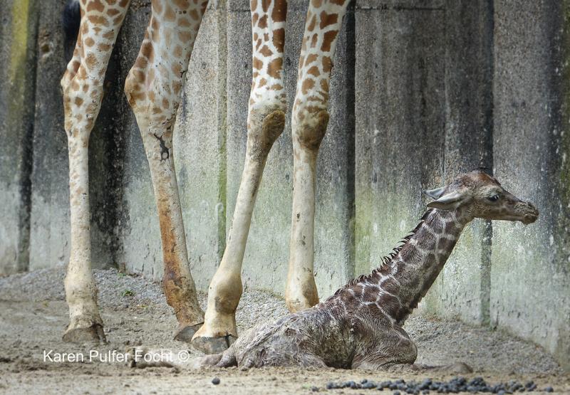 ©Focht- Baby Giraffe 04032017- 063.JPG