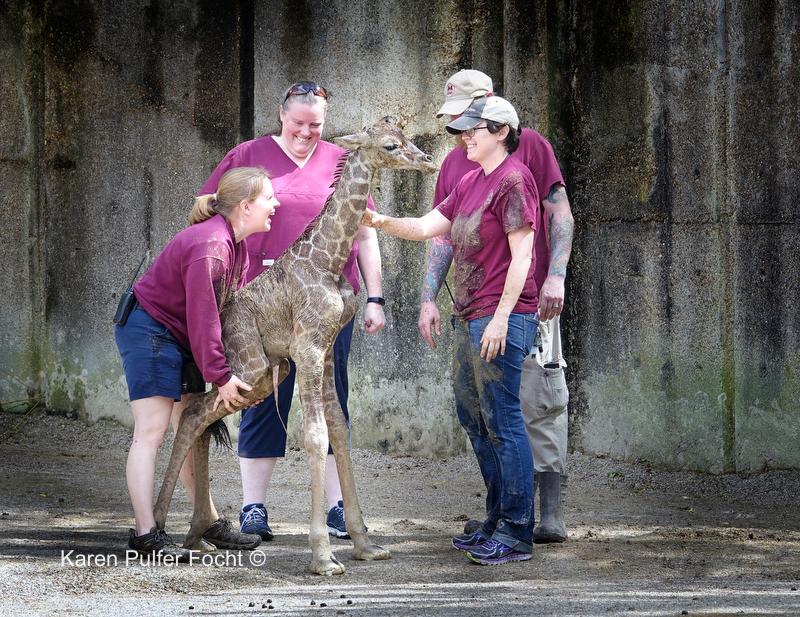 ©Focht- Baby Giraffe 04032017- 103.JPG