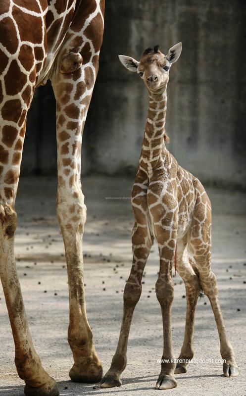 ©Focht-  Memphis Zoo Giraffes 007.JPG