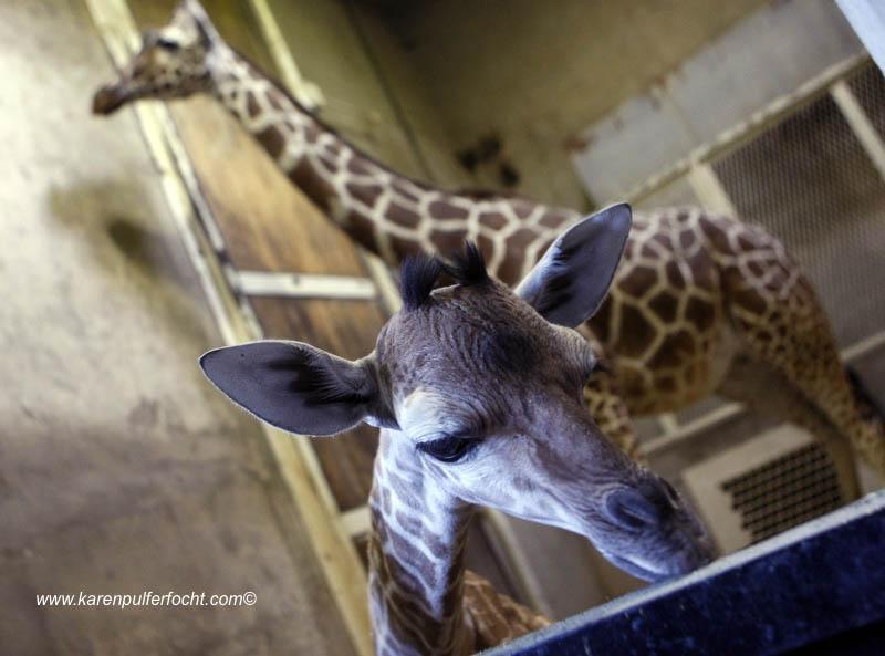 ©Focht-  Memphis Zoo Giraffes 008.JPG
