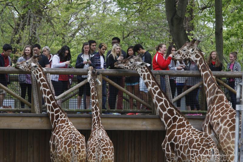 ©Focht-  Memphis Zoo Giraffes 003.JPG