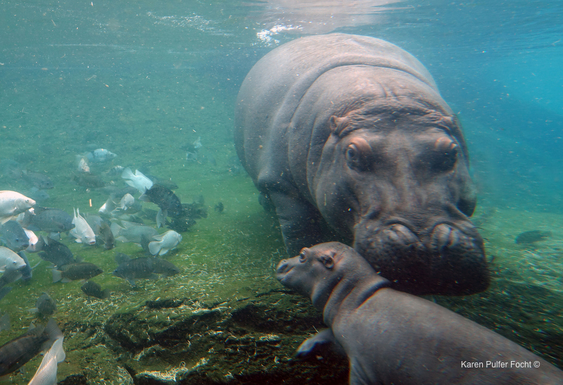 ©Focht- Memphis Zoo 04172017 Hippo 002.JPG