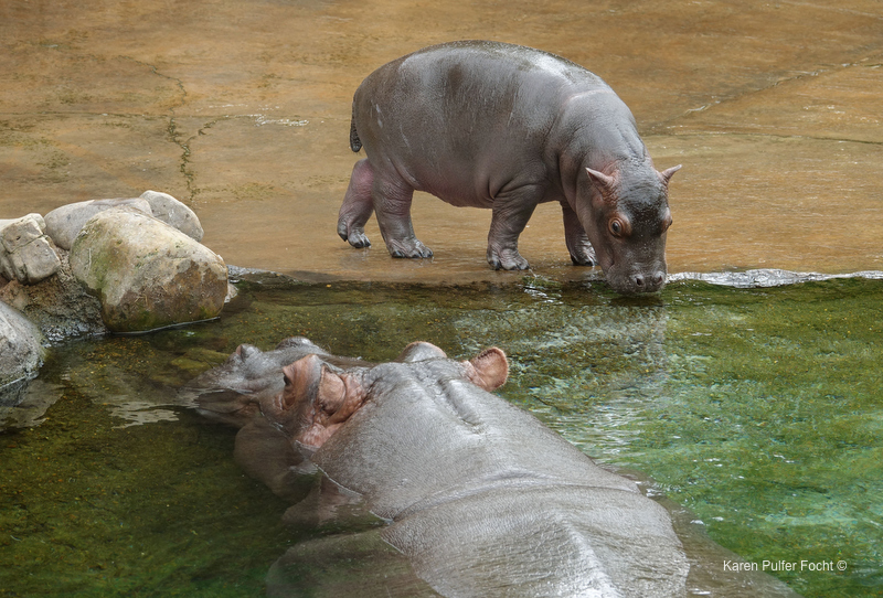 ©Focht- Memphis Zoo 04172017 Hippo 004.JPG
