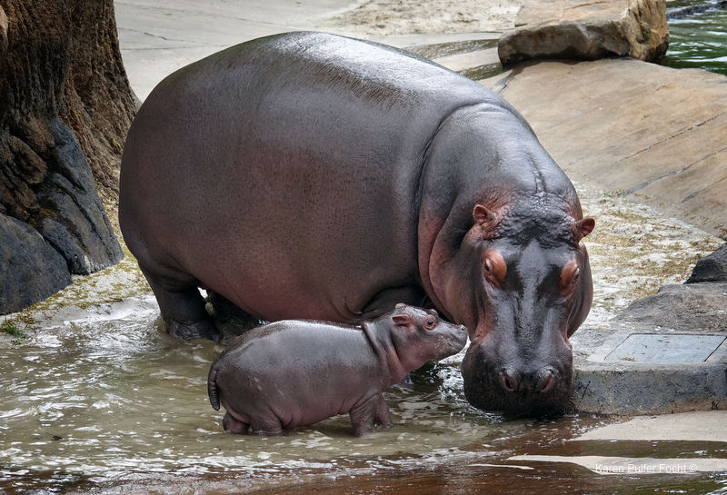 ©Focht- Memphis Zoo 04172017 Hippo 005.JPG