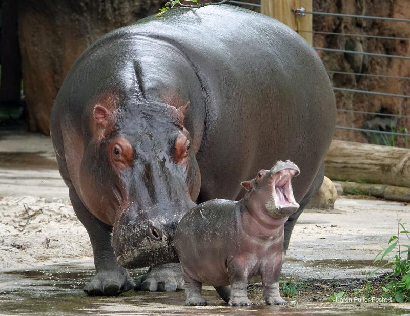 ©Focht- Memphis Zoo 04172017 Hippo 007.JPG