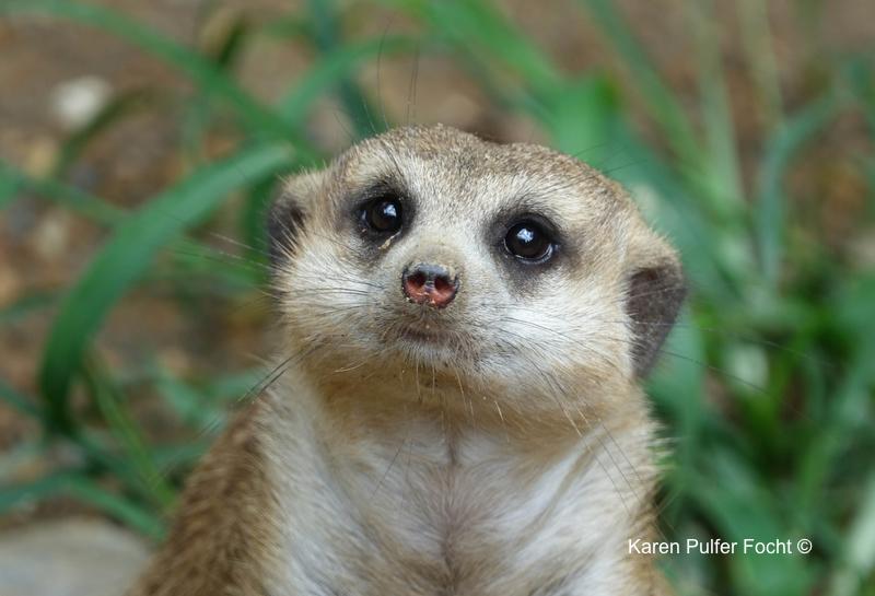 08212017 Zoo Meerkat © Karen Pulfer Focht 007.JPG