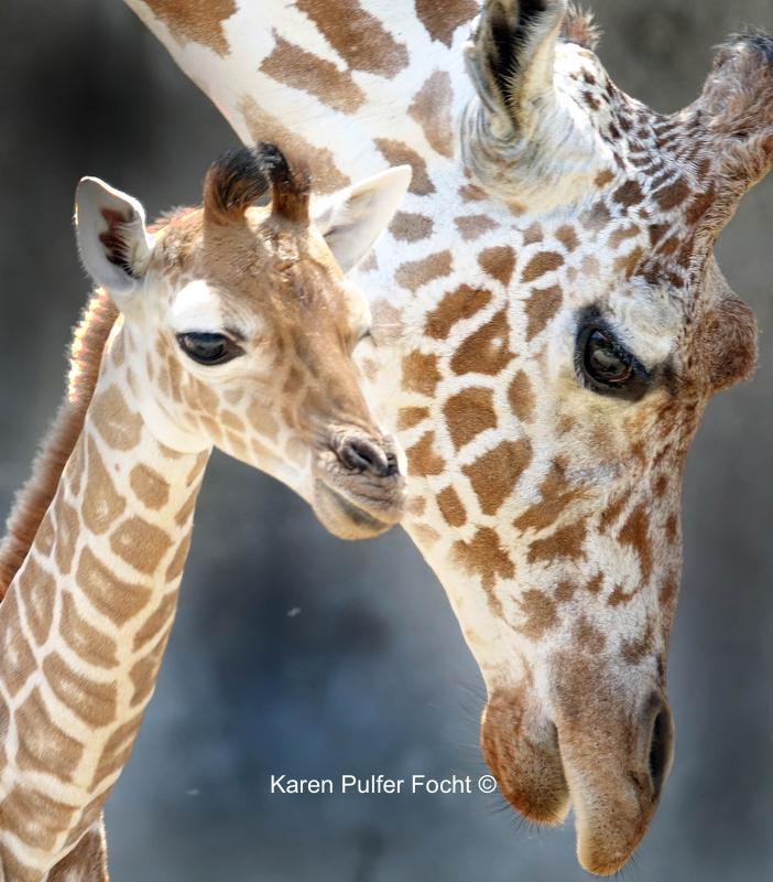 08212017 Zoo Eclipse Giraffe © Karen Pulfer Focht 193.JPG
