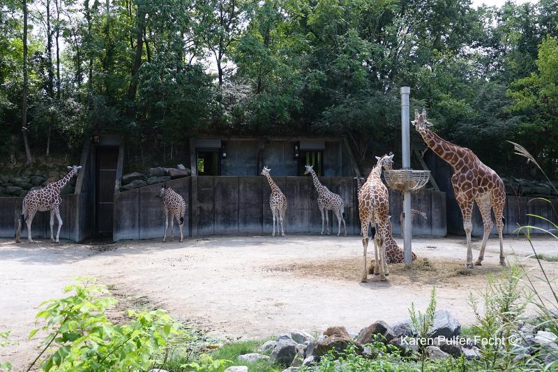 08212017 Zoo Eclipse Giraffe © Karen Pulfer Focht 244.JPG