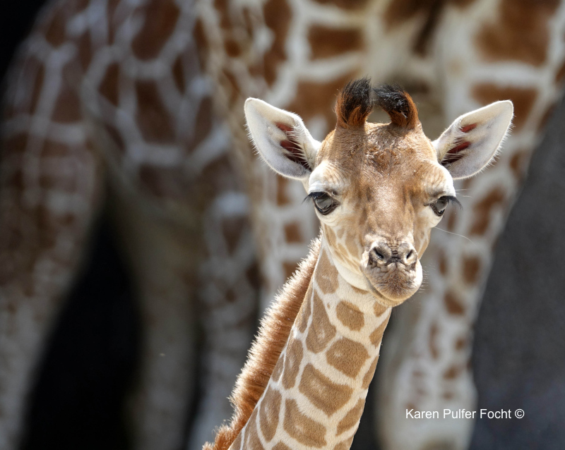 08212017 Zoo Eclipse Giraffe © Karen Pulfer Focht 126.JPG
