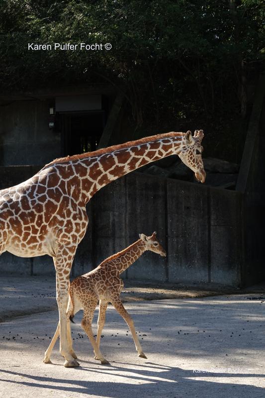 ©Focht  Baby Giraffes 082A.JPG