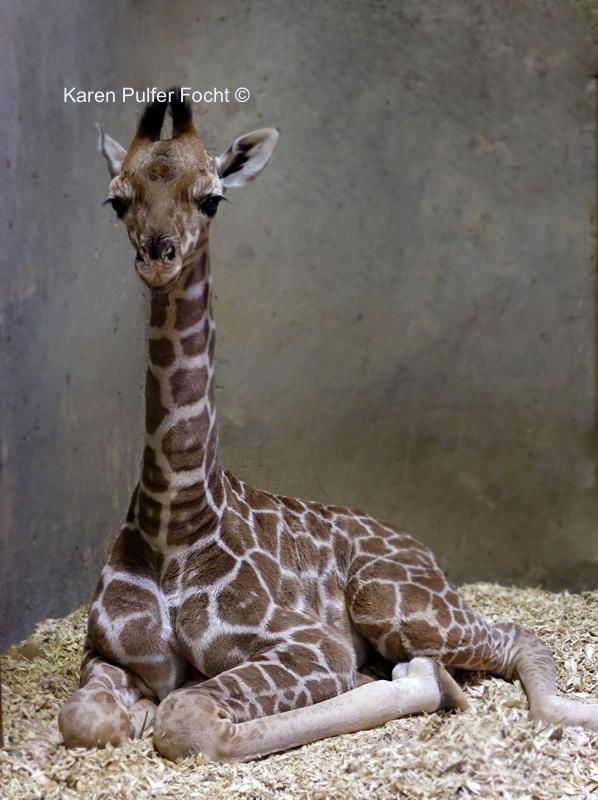 ©Focht- Memphis Zoo 04172017 Giraffe 001 PS.JPG