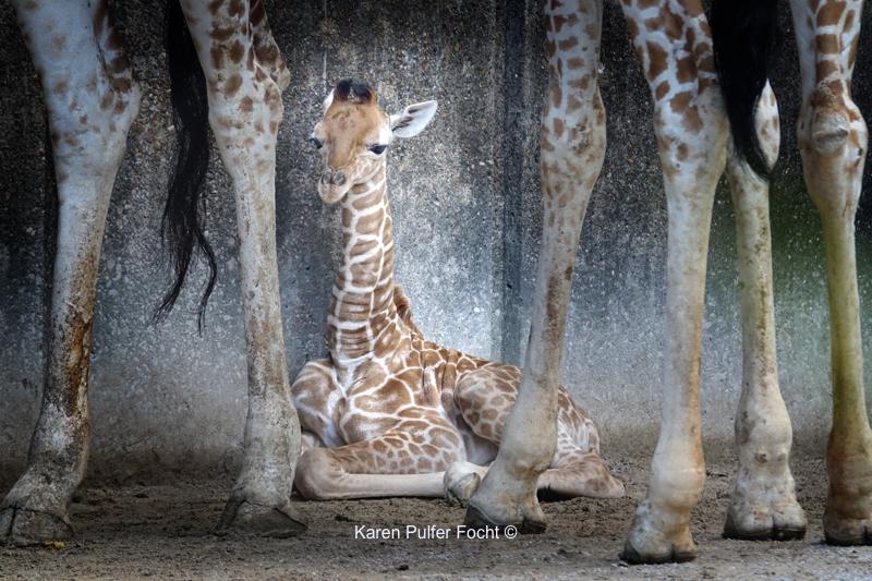 08212017 Focht Giraffe Babies 035.JPG